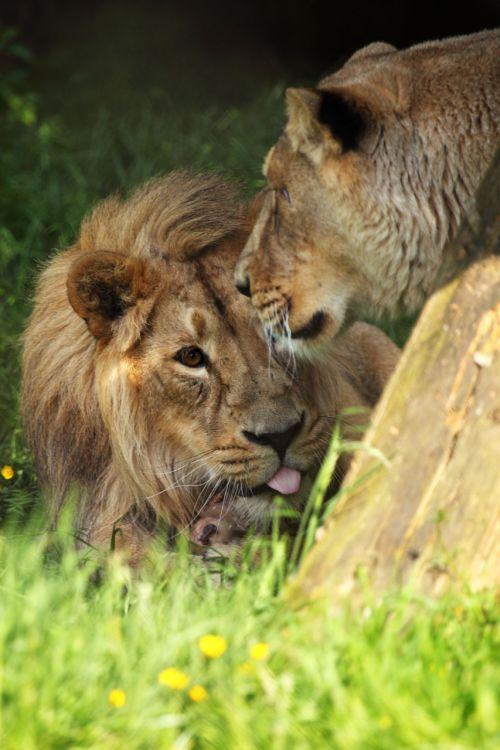 afrika, Afrikos, gyvūnas, mėsėdis, katė, pavojingas, veidas, kačių, kailis, leo, liūtas, melas, Patinas, Žiurkė, plėšrūnas, poilsis, poilsio, safari, laukiniai, juokingas liūtas