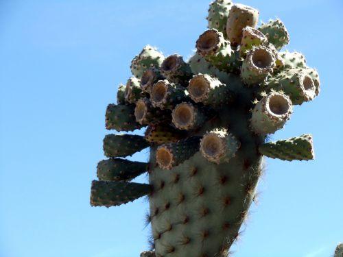 kaktusas, galapagai, salos, galaktikos kaktusas