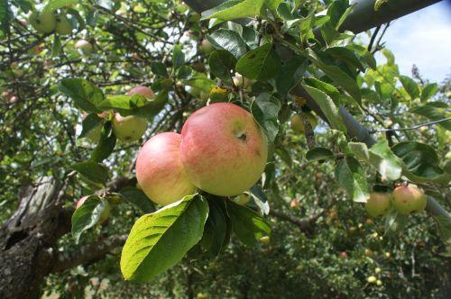 galisų obuoliai,obuoliai,Šviesiaplaukis,vaisiai,medis