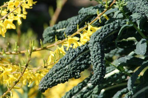 sodas,lapija,augalų liga,geltona gėlė,žalias,žalias lapas,gamta