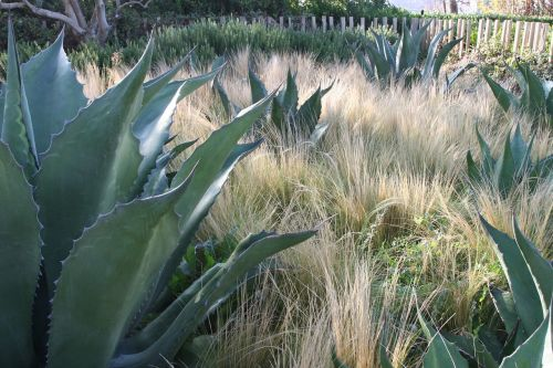 sodas,kaktusas,botanikos,augalas,echeverija,sodininkystė,sodininkystė,dekoratyvinis,agavė