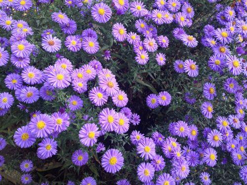 sodas,violetinės gėlės,gėlės,augalas,violetinė,žydi,gėlė,gamta,makro,mažos gėlės,purpurinės gėlės,sodo augalas,žydi,augalai,klesti
