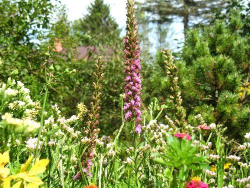 sodas,gėlės,Namai ir sodas,sodo augalas,gėlių vasara,floksas,gamta,vasara