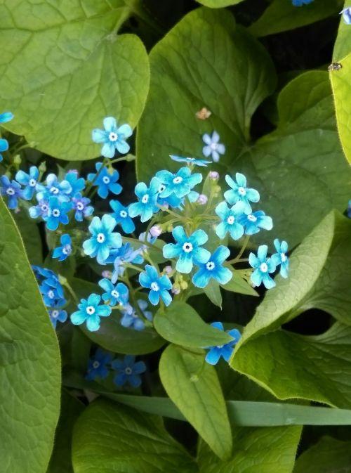 sodas,me-nots,vasara,augalas,žydėti,gėlė,mėlynas,Nepamiršk manęs,sodo gėlės,sodo gėlė
