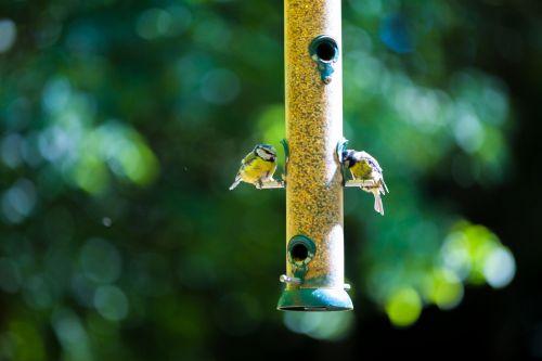 paukštis, tiektuvas, laukiniai, sodas, žiema, mėlynas, lauke, Iš arti, šaltas, caeruleus, natūralus, giesmininkas, parus, balta, mažas, in, europietis, geltona, plunksna, Tomtit, praeivis, vienas, paukščių stebėjimas, berniukas, Iš arti, plumėjimas, ornitologija, mielas, sezonas, sodo paukščių tiektuvas
