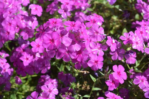sodo gėlė, violetinė, gėlės, Chiang Mai Tailandas, Tailandas