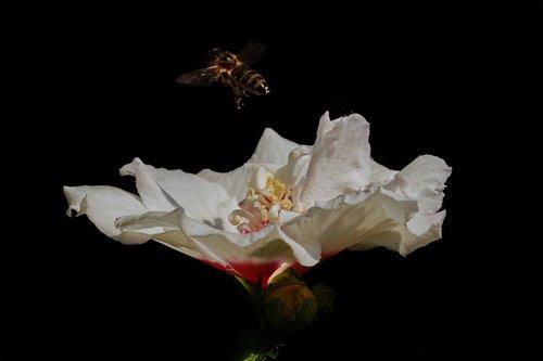 sodo Hibiscus, Hibiscus syriacus, speciosus, sodo Marshmallow, Hibiscus, egzotiška dekoratyvinių krūmų, raudona centrinė vietoje, dvigubas žiedas, juodas fonas
