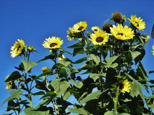 sodo saulėgrąžos,mėlynas dangus,gėlės,pilnai žydėti,saulės gėlė,vasaros gėlė,ryškiai geltona,gėlė,augalas,gamta,sodas,žydėti,flora,Uždaryti,vasara,geltona,sodo augalas,geltona gėlė,vasaros gėlė,metų laikas,helianthus annuus,žydintis augalas,kompozitai,žiedlapiai,aliejaus augalas,sodo sodas,botanika,rudens gėlės