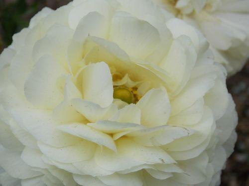 gardėja,gėlė,flora