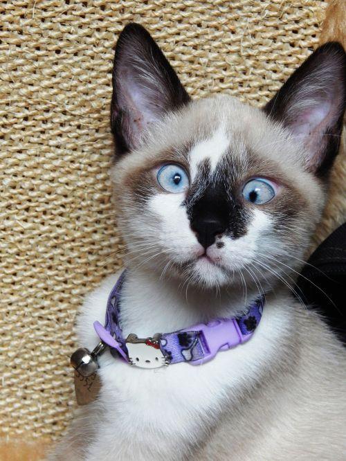 gata,katė,kačiukas,gyvūnas,linda,naminis gyvūnėlis,gyvūnai,kačių,stuburas,žinduolis,mėlynos akys,akys,Siamo,kryžminis katinas,katė vesto,kryžiaus akimis,skirtingos akys