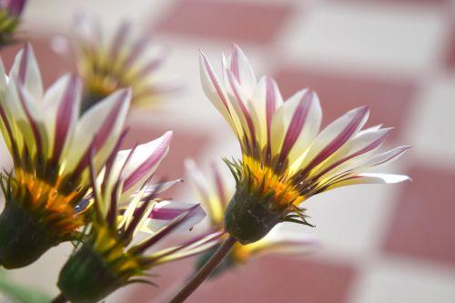 gazania, gėlė, žiedlapiai, gamta, sodas, Gazania 12