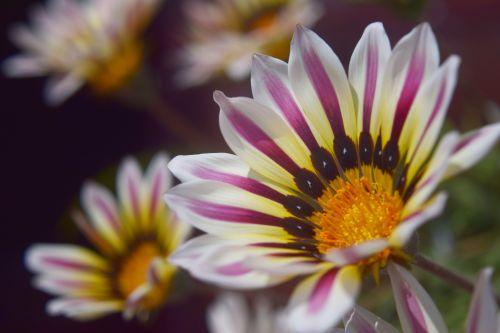 gazania, gėlė, žiedlapiai, gamta, sodas, gazania 13