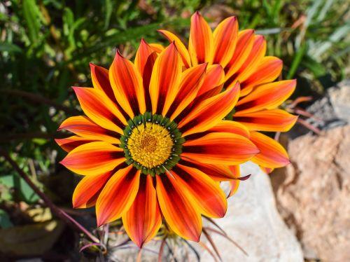 gazania,gėlė,spalvinga,gamta,augalas,gėlių,pavasaris,žiedas,žydėti,sodas,žiedlapis,dherynia,Kipras
