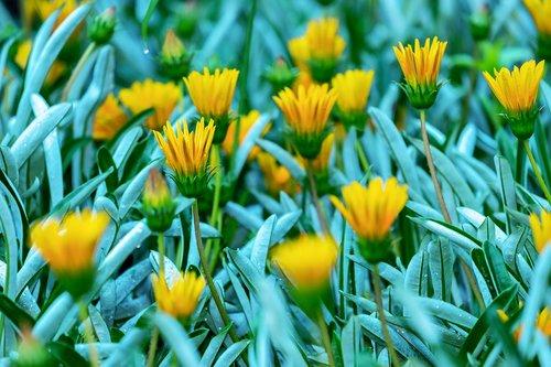 Gazania, gėlės, žiedas, žydi, geltona, aukso val, augalų, kompozitai, Asteraceae, sonnentaler, lapai, šviesus, ledo gamykla, floros, saulėta geltona, dekoratyviniai gėlių