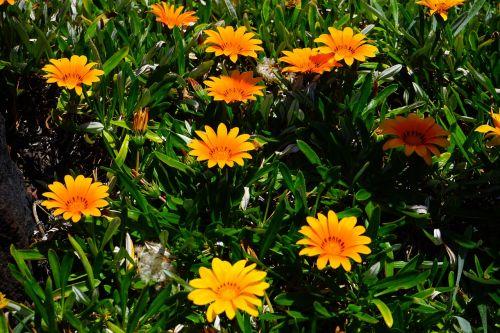gazania,gėlės,geltona,oranžinė,žydėti,geuugte gazanie,gazania rigens,geäugt,taško numeris,gepunkted,taškai,juoda,taškinis žiedas,aukso vidurdienis,vidurnakčio aukso gėlė,sonnentaler,flora,augalas,saulėtas,saulėtas geltonasis,šviesus,gazania pavonia,cape gazanie,pusbokšlis,kompozitai,asteraceae,žydinčių augalų,akys,akių žiedas,žiedinis,dekoratyvinis augalas,dekoratyvinė gėlė,pastebėtas