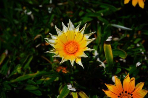 gazania,gėlės,geltona,žvaigždė,dantų formos,oranžinė,žydėti,geuugte gazanie,gazania rigens,geäugt,taško numeris,gepunkted,taškai,juoda,taškinis žiedas,aukso vidurdienis,vidurnakčio aukso gėlė,sonnentaler,flora,žiedas,žydėti,augalas,saulėtas,saulėtas geltonasis,šviesus,gazania pavonia,cape gazanie,pusbokšlis,kompozitai,asteraceae,žydinčių augalų,akys,akių žiedas,žiedinis,dekoratyvinis augalas,dekoratyvinė gėlė,pastebėtas