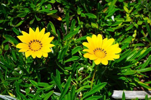 gazania,gėlės,geltona,ryškiai geltona,citrina,geuugte gazanie,gazania rigens,geäugt,taško numeris,gepunkted,taškai,juoda,taškinis žiedas,aukso vidurdienis,vidurnakčio aukso gėlė,sonnentaler,flora,augalas,saulėtas,saulėtas geltonasis,šviesus,gazania pavonia,cape gazanie,pusbokšlis,kompozitai,asteraceae,žydinčių augalų,akys,akių žiedas,žiedinis,dekoratyvinis augalas,dekoratyvinė gėlė,pastebėtas