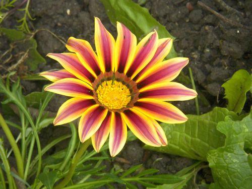 gazania,gėlė,žiedas,žiedlapis,žydėti,gėlių,tvirtas,raudona,oranžinė,sodininkystė,žydi,natūralus,botanikos,galva,asteraceae,daugiametis,pistil,splendens,dryžuotas