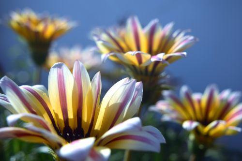 gazania, gėlė, žiedlapiai, gamta, sodas, gazania gėlės 10