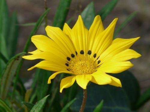 gazania rigens,gazanie,geuugte gazanie,geltona,ryškiai geltona,citrina,geäugt,taško numeris,gepunkted,taškai,juoda,taškinis žiedas,aukso vidurdienis,vidurnakčio aukso gėlė,sonnentaler,flora,žiedas,žydėti,augalas,saulėtas,saulėtas geltonasis,šviesus,gazania pavonia,cape gazanie,pusbokšlis,kompozitai,asteraceae,žydinčių augalų,akys,akių žiedas,žiedinis,dekoratyvinis augalas,dekoratyvinė gėlė,gėlė