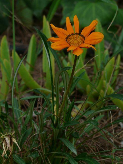 gazania rigens,gazanie,geuugte gazanie,oranžinė,geäugt,taško numeris,gepunkted,taškai,juoda,taškinis žiedas,aukso vidurdienis,vidurnakčio aukso gėlė,sonnentaler,flora,geltona,žiedas,žydėti,augalas,saulėtas,saulėtas geltonasis,šviesus,gazania pavonia,cape gazanie,pusbokšlis,kompozitai,asteraceae,žydinčių augalų,akys,akių žiedas,žiedinis,dekoratyvinis augalas,dekoratyvinė gėlė,gėlė