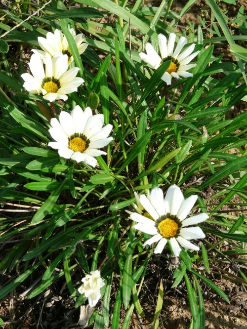 gazania rigens,gazanie,geuugte gazanie,balta,geäugt,taško numeris,gepunkted,taškai,juoda,taškinis žiedas,aukso vidurdienis,vidurnakčio aukso gėlė,sonnentaler,flora,geltona,žiedas,žydėti,augalas,saulėtas,saulėtas geltonasis,šviesus,gazania pavonia,cape gazanie,pusbokšlis,kompozitai,asteraceae,žydinčių augalų,akys,akių žiedas,žiedinis,dekoratyvinis augalas,dekoratyvinė gėlė,gėlė