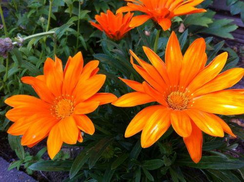 gazania splendens,sodo augalas,oranžinė
