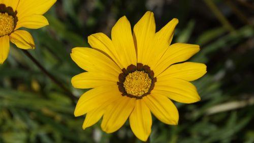 gazania splendens,gėlė,asteraceae,geltona,gazania rigens,žydėti,lobių gėlė,gazania,žiedas