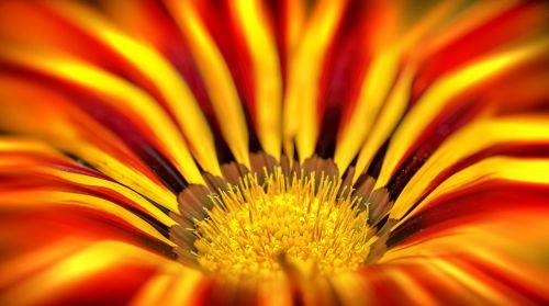 gazanie,Uždaryti,pano,aukso vidurdienis,geltona,makro,augalas,saulėtas,šviesus,saulėtas geltonasis,vidurnakčio aukso gėlė,flora,auksas,gamta,žiedas,žydėti,žvaigždė,kompozitai,oranžinė,rozės,geuugte gazanie,dekoratyvinė gėlė,gėlė