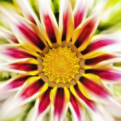 gazanie,žiedas,žydėti,aukso vidurdienis,saulėtas,saulėtas geltonasis,sonnentaler,vidurnakčio aukso gėlė,flora,augalas,šviesus,kompozitai,žiedinis,gazania pavonia,dekoratyvinis augalas,gazania rigens,dekoratyvinė gėlė,gėlė,oranžinė,citrina