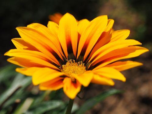 gazanie,gėlė,žiedas,žydėti,geltona,oranžinė,žydėti,aukso vidurdienis,vidurnakčio aukso gėlė,sonnentaler,flora,augalas,saulėtas,saulėtas geltonasis,šviesus,pusbokšlis,kompozitai,asteraceae,žydinčių augalų,dekoratyvinis augalas,dekoratyvinė gėlė