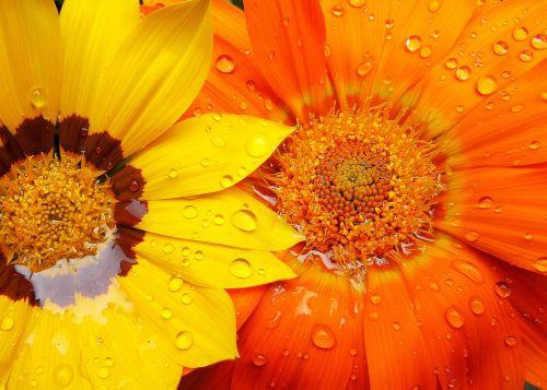 gazánie,gėlės,lašai vandens,vasara