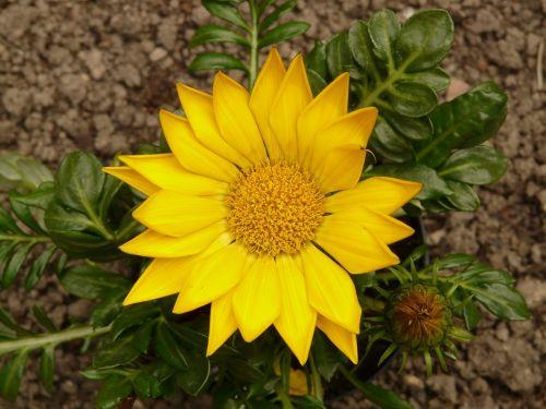 gazanie,aukso vidurdienis,vidurnakčio aukso gėlė,sonnentaler,flora,geltona,žiedas,žydėti,augalas,saulėtas,saulėtas geltonasis