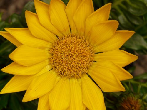 gazanie,aukso vidurdienis,vidurnakčio aukso gėlė,sonnentaler,flora,geltona,žiedas,žydėti,augalas,saulėtas,saulėtas geltonasis,šviesus