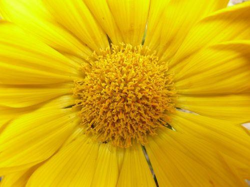 gazanie,aukso vidurdienis,vidurnakčio aukso gėlė,sonnentaler,flora,geltona,žiedas,žydėti,augalas,saulėtas,saulėtas geltonasis,Uždaryti,makro,šviesus