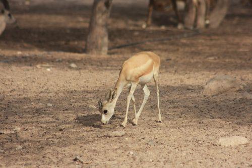 gazelė,laukinio gyvenimo parkas,gamtos parkas,gyvūnas,žinduolis