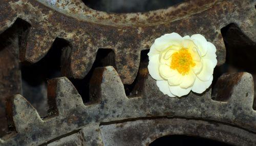 įrankis,Laukinė rožė,metalas,geležis,senas,ištemptas,gėlė,balta,rožė ir metalas,gėlė ir metalas,trumpalaikis,laikas,pagaliau,Uždaryti