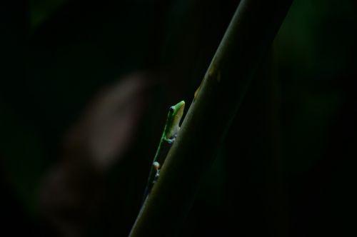 gecko,Hawaii,sala hawaii,ropliai,spalvinga,atogrąžų,tropinis,ryški spalva