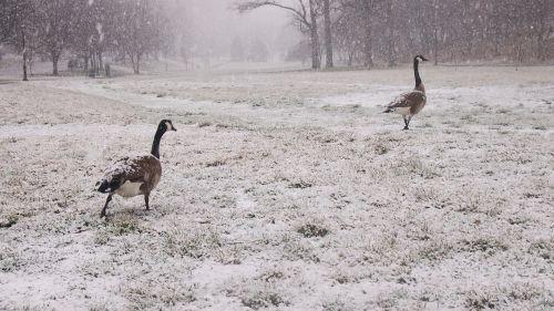 žąsys,sniegas,snieguotas parkas,sekite lyderiu,žąsis,parkas,lauke,sniegas,snaigės,gamta,aplinka,sniego aplinka,sekti