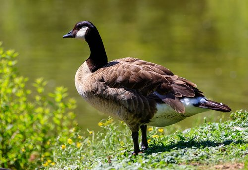 žąsų, Kanada žąsų, paukščiai, žąsų, pobūdį, ežeras, vandens paukščiai, Kanada žąsų, plaukti, migruojantys paukščiai, Gyvūnijos pasaulyje, gyvūnai, vanduo paukštis, plunksnos, paukštiena