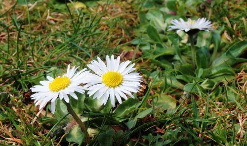 žąsų gėlė,Daisy,gamta,pavasaris,gėlė,augalas,žiedas,žydėti,balta,pieva,aštraus gėlė,maža gėlė,žolėje,sodas