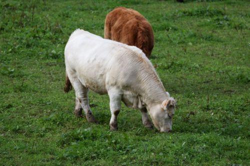 karvės, telyčios, galvijai, veisimas, gamta, žemės ūkio, kaimas, gyvūnai, ganymas, telyčios pievoje