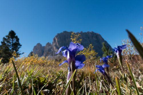 gentian,gentiana,Alpių,dolomitai,mėlynas,žiedas,žydėti,gėlė,Alpių gėlė,augalas,gamta,flora,laukinė gėlė,Alpių augalas,kalnai,pieva,Alpių flora,Uždaryti,Alpių pieva,tikras Alpių gencijonas,alm
