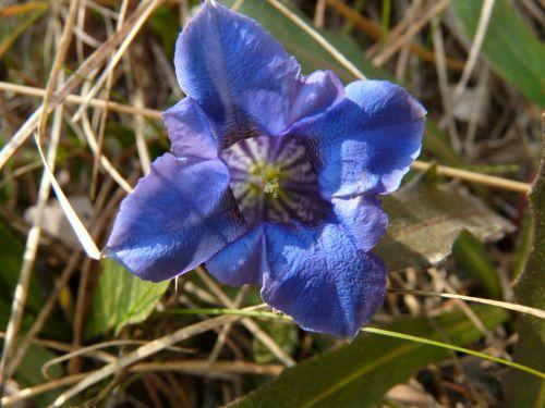 gentian,Alpių gėlė,kalnų gėlė,laukinė gėlė,Alpių,abėcėlė,gėlė,flora,mėlynas,augalas,žiedas,žydėti