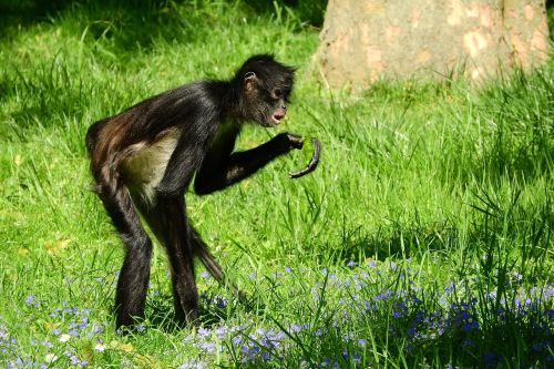 geoffroy voras beždžionė,ateles geoffroyi,primatai,beždžionė,prague zoo