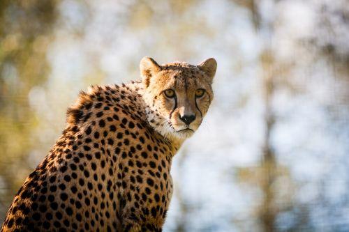 gepardas,Gepardas,didelė katė,gyvūnas,laukinė gamta,katė,plėšrūnas,gamta,žinduolis,afrika,pavojingas,safari,kailis,fauna,žiūri,portretas