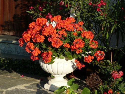 Geranium, Raudona, Žiedas, Žydėti, Gėlė, Flora, Raudona Geranija, Ryškiai Raudona, Spalvinga