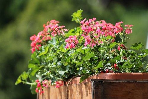 Geranium, gėlės, balkonas augalas, raudona, augalų, rožinė gėlė, rožinis, Iš arti, pasėlių, Botanikos, dekoratyvinis augalas, Gėlių dėžė, balkonas langas, žiedlapiai, balkonas, gėlių dekoracijos, pavasaris