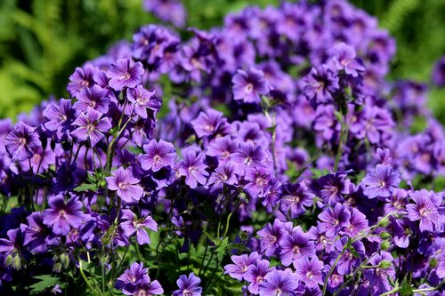 Geranium, gėlės, violetinės gėlės, šviesus, augalų, pobūdį, violetinė, vasaros gėlės, vasara, žydi, Iš arti, gražus, floros, gražios gėlės, ryskios spalvos, ne žmogus, gyvūnija, puokštė, Sodybos, dekoratyvinis augalas, geliu lova