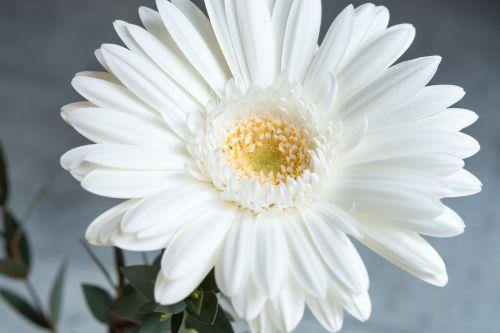 Gerbera,gėlė,balta,balta gėlė,žiedas,žydėti,baltas žiedas,balta gebera,schnittblume,pavasario gėlė,makro,Uždaryti,žiedlapiai,gėlės fotografija